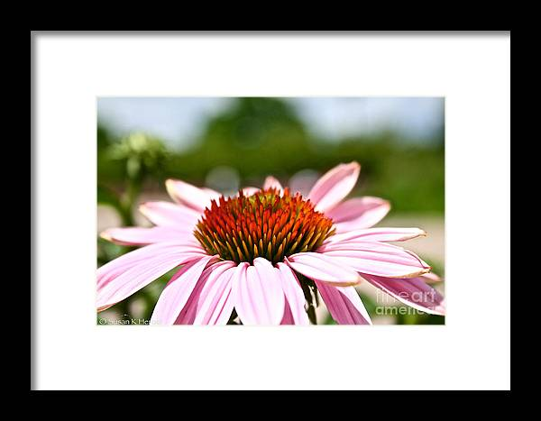 Garden Framed Print featuring the photograph Pink Cone Flower by Susan Herber