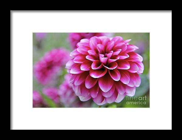 Dahlia Framed Print featuring the photograph Pink Dahlia by Mihaela Limberea