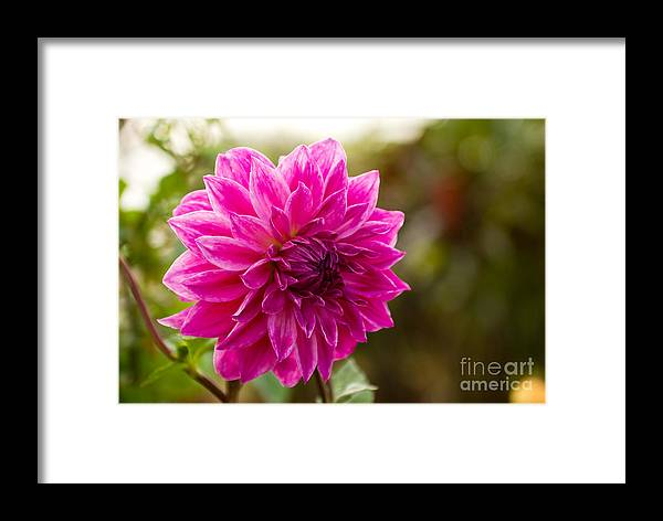 Flower Framed Print featuring the photograph Pink Dahlia by Syed Aqueel