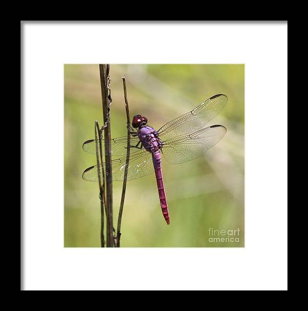 Dragonfly Framed Print featuring the photograph Pink Dragonfly With Sparkly Wings by Carol Groenen