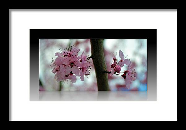 Flowers Framed Print featuring the photograph Pink Flowering Tree In Spring Framed by P S