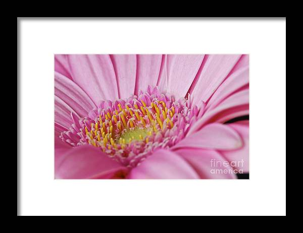 Flower Framed Print featuring the photograph Pink Gerbera Close Up by Mihaela Limberea