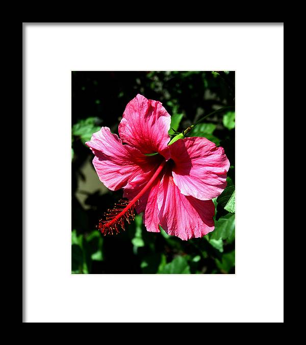 Hibiscus Framed Print featuring the photograph Pink Hibiscus2 by Karen Harrison