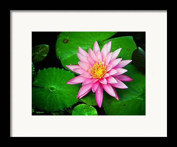 Water Lily Framed Print featuring the photograph Pink Nymphaea by Lisa Spencer