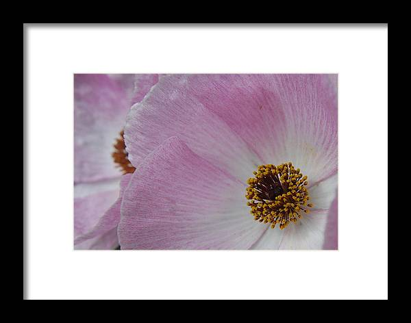Poppy Framed Print featuring the photograph Pink Prickly Poppy by Beth Gates-Sully