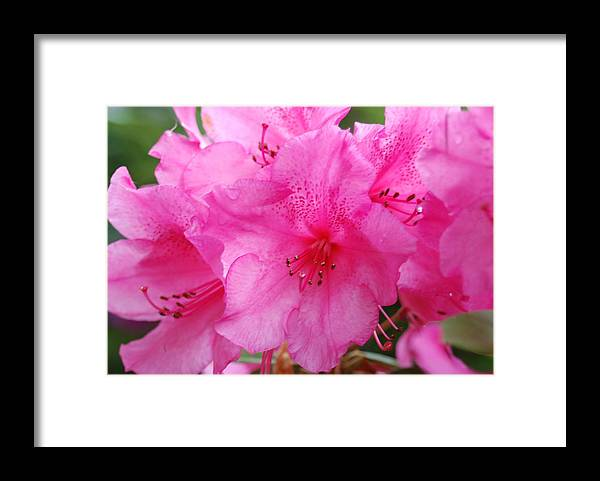 Pink Framed Print featuring the photograph Pink Rhody by Michael Merry