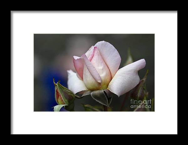 Rose Framed Print featuring the photograph Pink Rose Bloom by Heiko Koehrer-Wagner