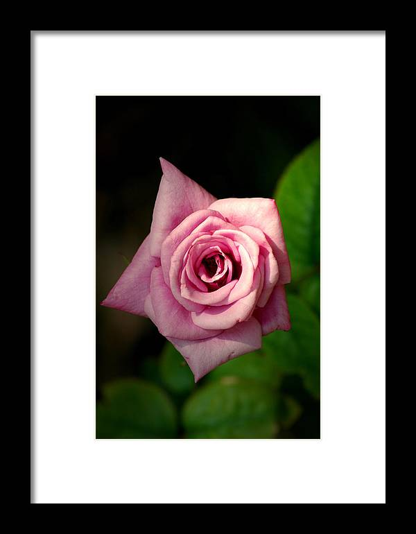 Flower Framed Print featuring the photograph Pink Rose by David Weeks
