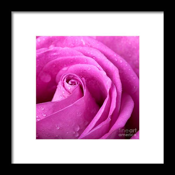Anniversary Framed Print featuring the photograph Pink Rose by Jane Rix