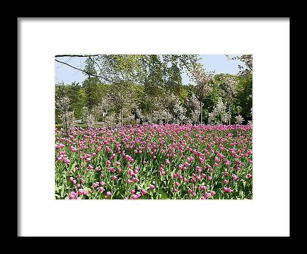 Pink Tulips Framed Print featuring the photograph Pink Tulips And Blossom 1 by Robert Shard