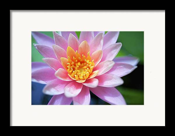 Beautiful Framed Print featuring the photograph Pink Water Lily by Kicka Witte
