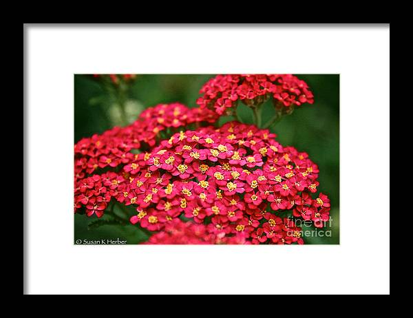 Garden Framed Print featuring the photograph Pink Yarrow by Susan Herber
