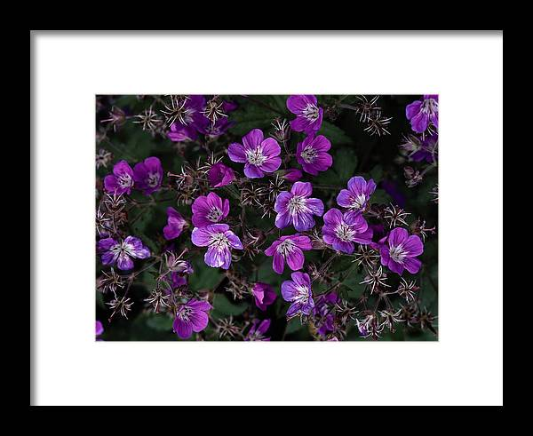 Plants Framed Print featuring the photograph Pinkish-purple Wildflowers Geranium by Mattias Klum