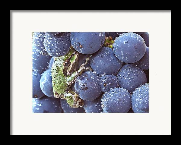 Amphibians Framed Print featuring the photograph Pinot Hitchhiker by Jean Noren