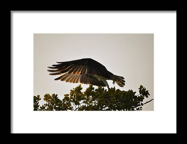 Osprey Taking Flight Framed Print featuring the photograph Poetry in Motion by Christine Stonebridge