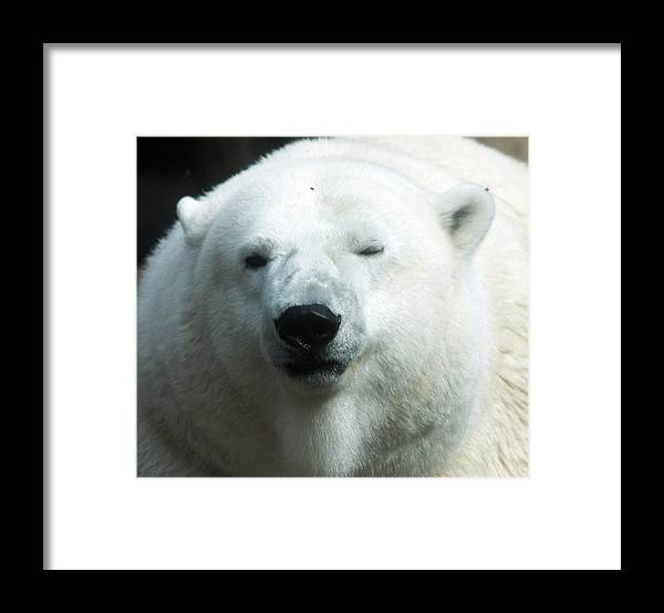 Oregon Framed Print featuring the photograph Polar Bear - 0001 by S and S Photo