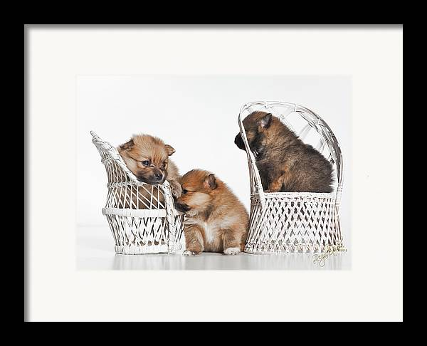 Puppies Framed Print featuring the photograph Pomeranian 3 by Everet Regal