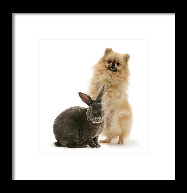 Pomeranian Framed Print featuring the photograph Pomeranian And Blue Rex Rabbit by Jane Burton