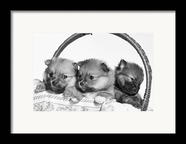 Puppies Framed Print featuring the photograph Pomeranian by Everet Regal