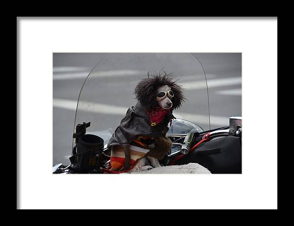 Dog Framed Print featuring the photograph Poodle on a bike by Randy J Heath