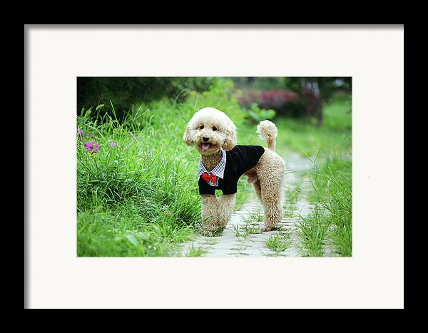 Horizontal Framed Print featuring the photograph Poodle Wearing Suit by Photography by Bobi