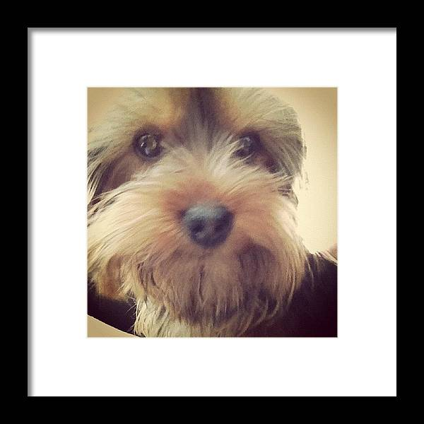 Cute Framed Print featuring the photograph Poppy :) #yorkshireterrior #dog #puppy by Amy Reid 💜