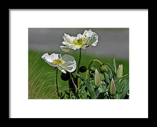 Poppy Framed Print featuring the photograph Poppy Flowers by David Freeman