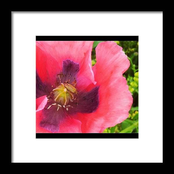 Pink Framed Print featuring the photograph Poppy #macro#nature #naturelovers by Anita Callister Jones