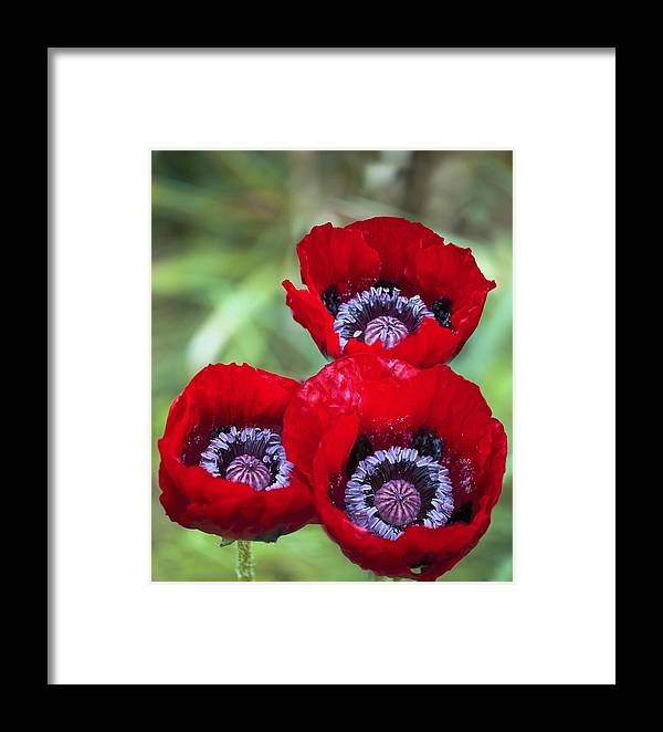 Poppy Framed Print featuring the photograph Poppy (papaver Orientale) by Maria Mosolova