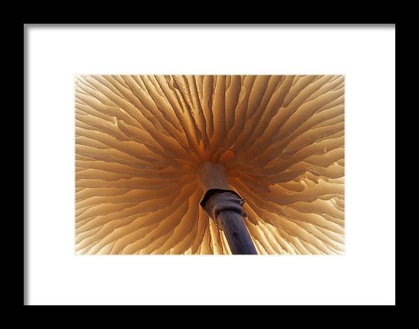 00283590 Framed Print featuring the photograph Porcelain Mushroom Oudemansiella Mucida by Jan Vermeer