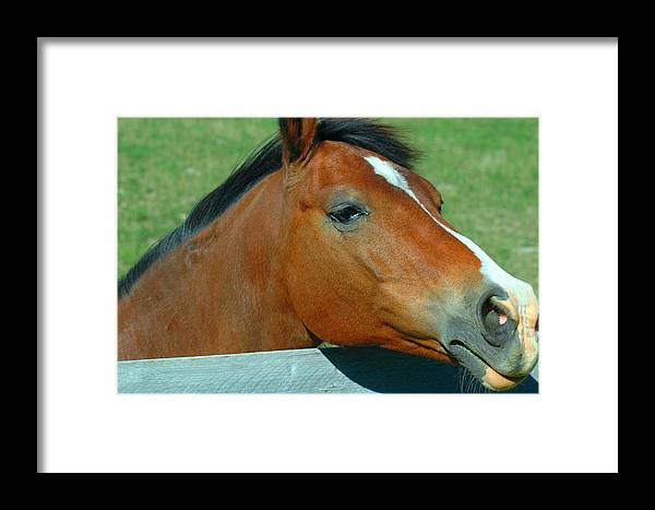 Horse Framed Print featuring the photograph Portrait Of A Horse by Ronald T Williams