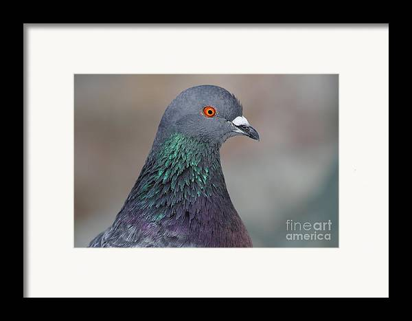 Animal Framed Print featuring the photograph Portrait Of A Pigeon . 7d12327 by Wingsdomain Art and Photography