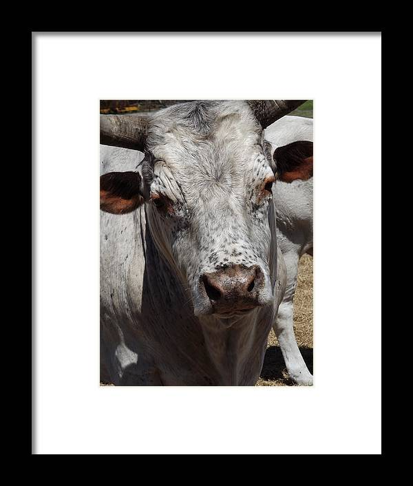 Cow Framed Print featuring the photograph Posing Cow by Pamela Stanford