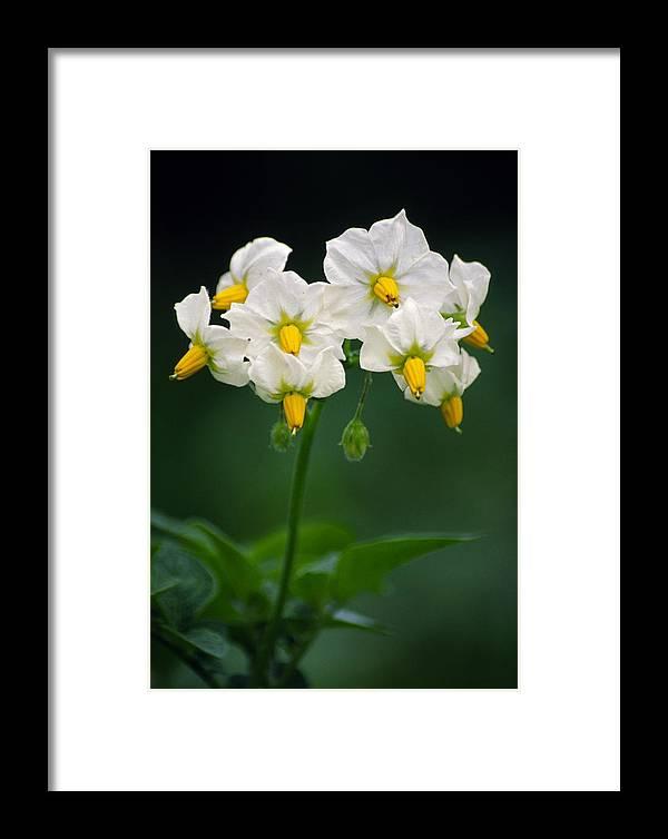 Potato Framed Print featuring the photograph Potato Flowers (solanum Tuberosum) by Dr. Nick Kurzenko