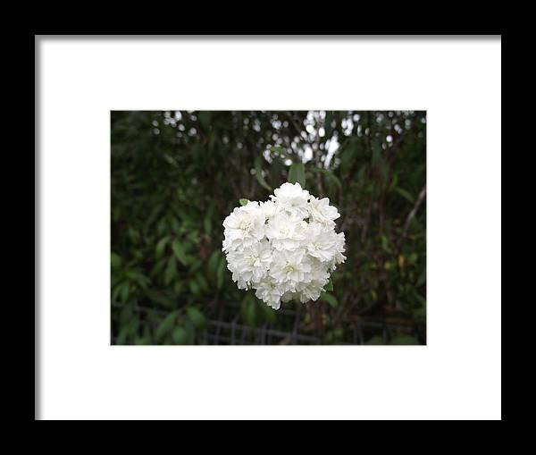 Flower Framed Print featuring the photograph Powder Puff by Rani De Leeuw
