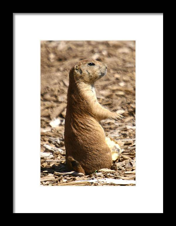 Prairie Dog Framed Print featuring the photograph Prairie Dog Profile by Western Roundup