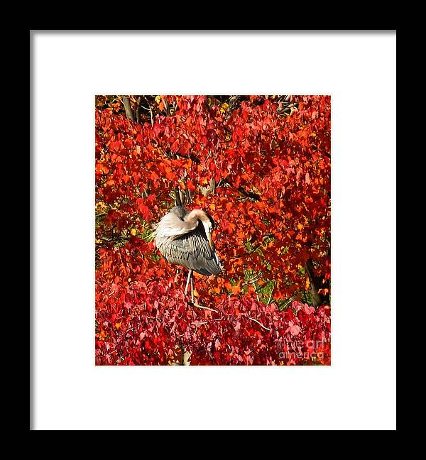 Great Blue Heron Framed Print featuring the photograph Preening by Rrrose Pix