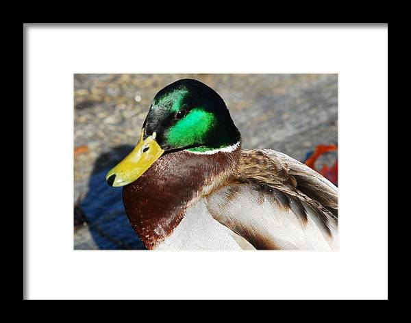 Duck Framed Print featuring the photograph Pretty Boy by Don Mann