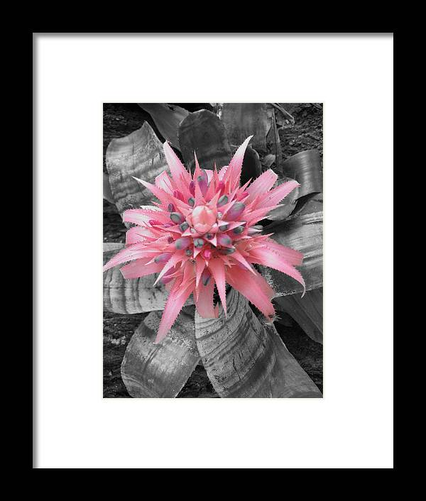 Bromiliad Framed Print featuring the photograph Pretty Bromeliad by Carrie Munoz