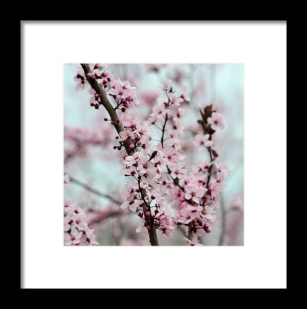 Pink Framed Print featuring the photograph Pretty Pink Flowering Tree by P S