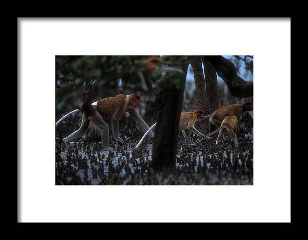 Nasalis Larvatus Framed Print featuring the photograph Proboscis Monkeys Travel Over Mangrove by Tim Laman