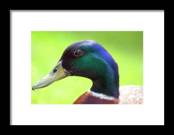 Mallard Duck Framed Print featuring the photograph Profile by LC Linda Scott