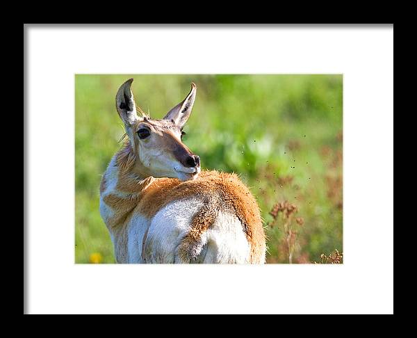 Bison Range Framed Print featuring the photograph Pronghorn Doe by Merle Ann Loman