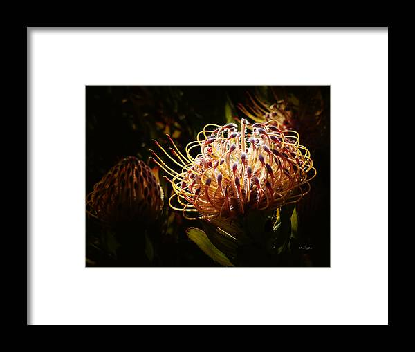 Leucospermum Framed Print featuring the photograph Protea Flower 10 by Xueling Zou