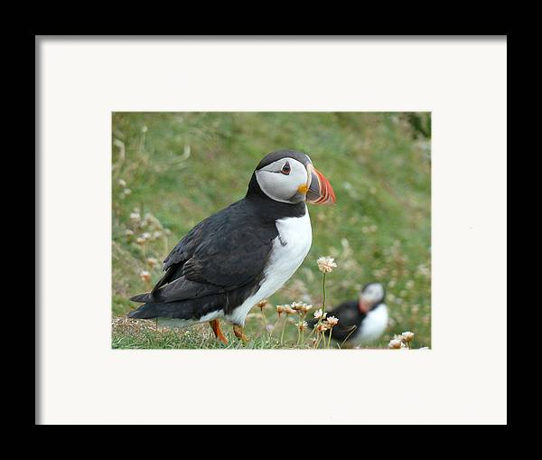 Puffin Framed Print featuring the photograph Puffin by George Leask