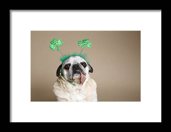 Horizontal Framed Print featuring the photograph Pug With Tongue by Mlorenzphotography