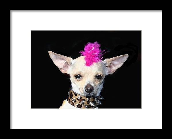 Punk Rock Chihuahua Chihuahuas Dog Dogs Pet Pets Animal Animals Puppy Puppies 80's Mohawk Framed Print featuring the photograph Punk Rock Chihuahua by Ritmo Boxer Designs