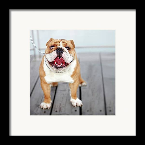 Square Framed Print featuring the photograph Puppy Dog Breed English Bulldog by Maika 777
