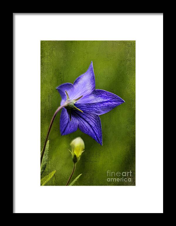 Beautiful Framed Print featuring the photograph Purple Balloon Flower by Darren Fisher