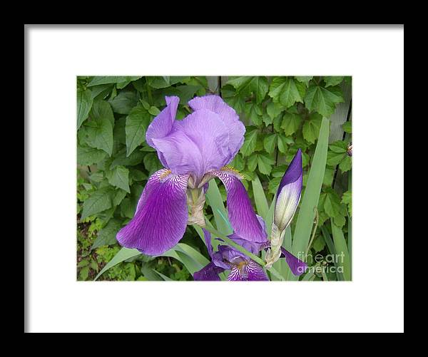 Framed Print featuring the photograph Purple Bearded Iris by Jane Whyte